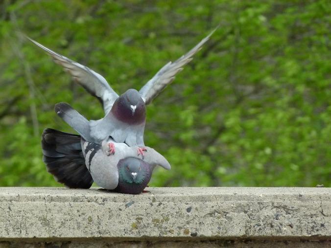pigeon-2533783_1280